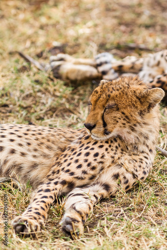 the cheetah is sleeping in the savannah masai mara kenya buy