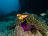 Two Nemo clownfish in its anemone
