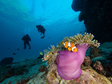 Two divers approaching a nemo clownfish in its host anemone