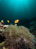 Nemo clownfish in its host anemone with sun rays coming down in the background - 221953349