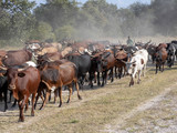 A herd of domestic cattle goes from pasture to northern Namibia - 221959539
