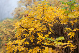 Yellow leaves on rose bush - 221959558