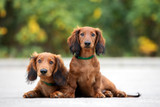 two adorable dachshund puppies posing together outdoors - 221960952