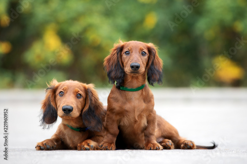 Leinwanddruck Bild two adorable dachshund puppies posing together outdoors
