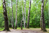 birch trees on meadow in green forest on summer