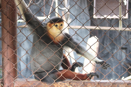 Foto Murales Red-shanked douc at the zoo (Pygathrix nemaeus)