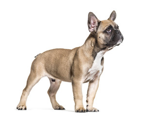 French Bulldog, 5 months old, standing against white background © Eric Isselée