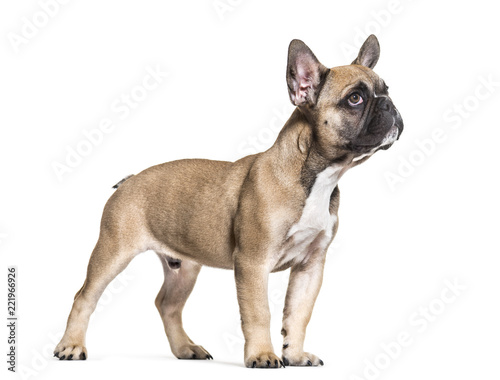 French Bulldog, 5 months old, standing against white background - 221966926