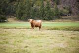 Vaca de las Tierras Altas de Escocia - 221967796
