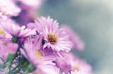 Purple Aster Flowers. Autumn flowers. Close-up. Copy space - 221968589