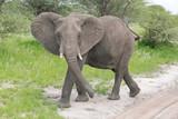 african elephant - 221969719