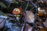 poisonous mushrooms amanita muscaria - 221971527