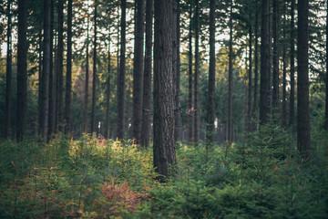 Tree trunks in pine woods.