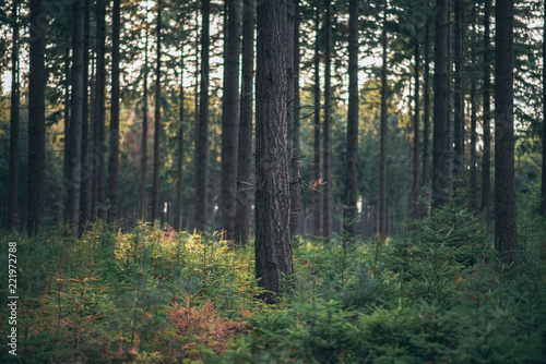 Tree trunks in pine woods. - 221972788