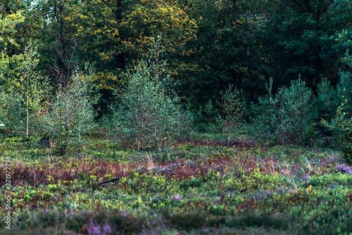 Fototapeta Young birch trees in moorland.