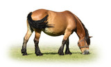 Bay horse grazing on a meadow on a white background. - 221977706