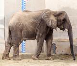 Elephant in zoo - 221979356