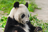 Giant panda - 221979386