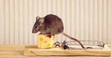 Mouse trap with cheese and mouse - 221987709