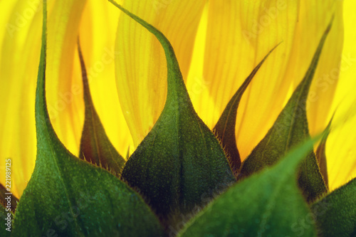 Foto Murales Back part of a sunflower with orange petals illuminated by sun rays as backlight