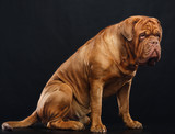 Bordeaux dog, the dog on Isolated Black Background in studio