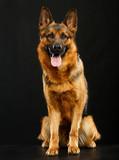 German Shepherd Dog  Isolated  on Black Background in studio - 221993108