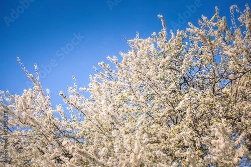 Fototapeta White cherry blossom