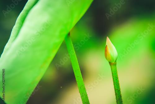Leinwandbild Motiv Lotus leaf and Lotus flower with sunlight