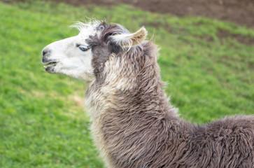 Head of Lama in profile