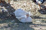 pigeon capucin hollandais - 222005742
