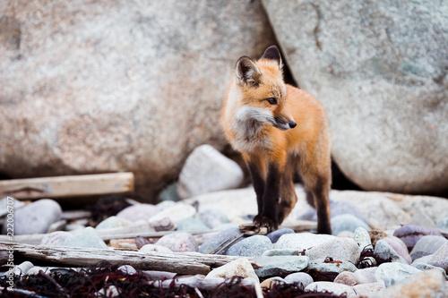 Fototapeta Young Fox II
