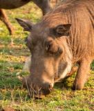 Wild African Warthog Grazing on Grass  - 222007180