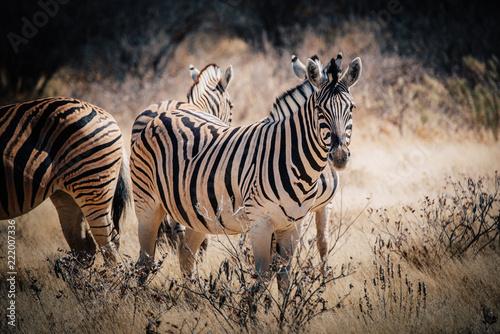 Fototapeta Zebra Portrait, Etosha National Park, Namibia