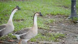 Slow motion of Goose walking on green grass in the garden (High Speed Video) - 222008381