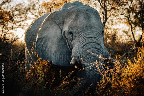 Fototapeta Einzelner Elefant in der Abendsonne, Etosha National Park, Namibia