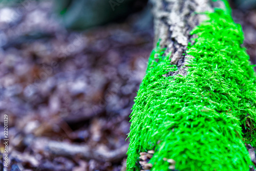 Moss on tree roots, branch and log in a green forest or moss on tree trunk. Tree bark with green moss. Selective focus. - 222011329