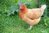 Brown female chicken moving around in the home garden - 222015314