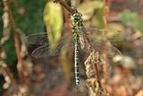 Männliche Blaugrüne Mosaikjungfer (Aeshna cyanea)   - 222016515