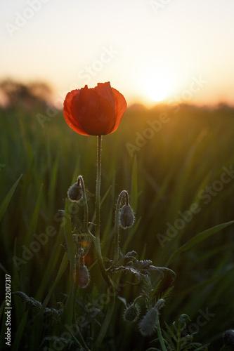 Fototapeta Poppy in blossom