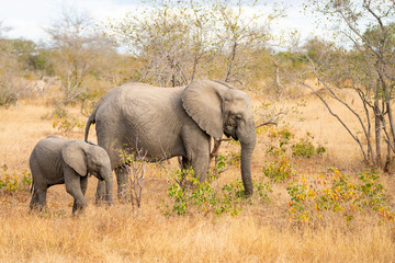 Elephant mum is grazing with calf at Kruger Nationalpark, South Africa