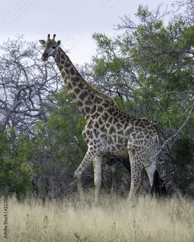 Fototapeta Giraffe - Wildlife of The Great Lumpopo Transfrontier Park