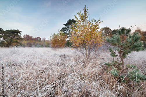 yellow birch tree and small pine on frosted meadow