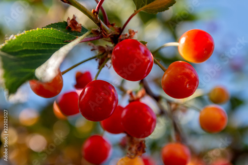 Foto Murales Red cherry on tree