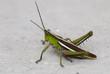 grasshopper on the floor