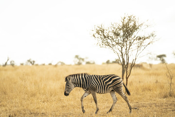 Young zebra is shambling through the savannah at Kruger Nationalpark, South Africa © Fabian Reinhardt