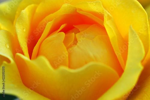 Beautiful Yellow Rose in Macro Closeup shot - 222052315
