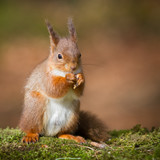 Red squirrel - 222053918