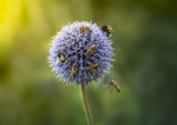 Bumble Bees and Bees on Echinops or Globe Thistle. Green Blurry Background. Copy Space.