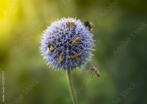 Leinwandbild Motiv Bumble Bees and Bees on Echinops or Globe Thistle. Green Blurry Background. Copy Space.