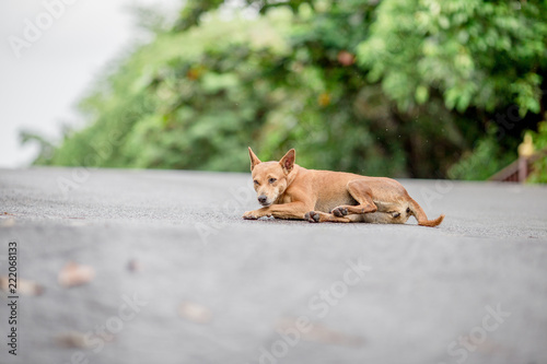 Fototapeta Dogs, animal backgrounds, Thai dog are waiting for the owner or waiting to play with the dog together, most of the owners will take a walk in the morning while exercising or walking in the evening.
